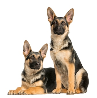 Zwei junge deutsche schäferhunde, sitzend und liegend