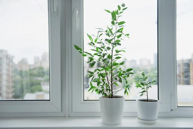 Zwei junge ficus benjamina in weißer topfpflanze zu hause design