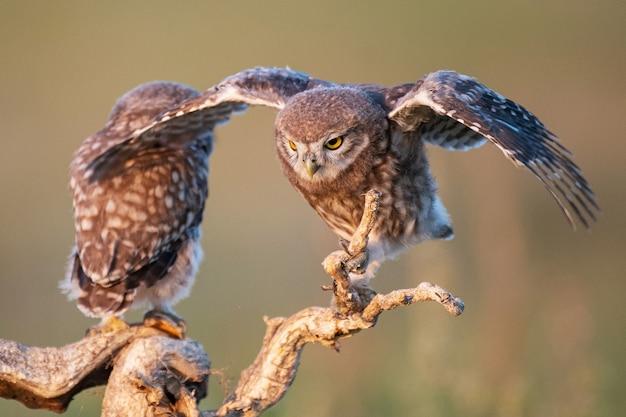 Zwei junge kleine eulen, athene noctua, stehen auf einem stock mit offenen flügeln