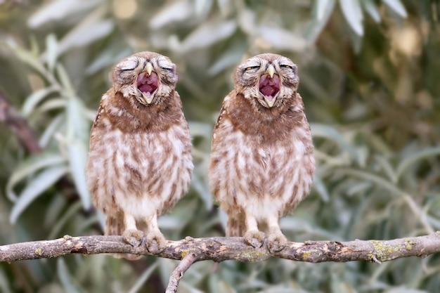 Zwei junge kleine eulenküken gähnen auf einem ast. lustige collage.