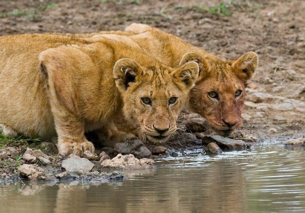 Zwei junge löwen am wasser. nationalpark. kenia. tansania. masai mara. serengeti.
