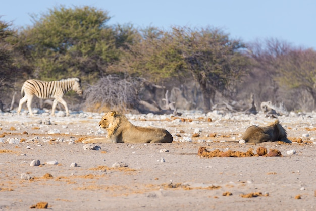 Zwei junge männliche faule löwen, die sich aus den grund hinlegen. zebra geht ungestört