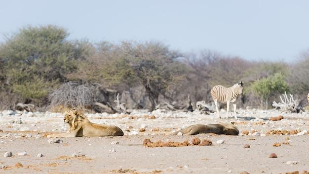 Zwei junge männliche faule löwen, die sich aus den grund hinlegen. zebra (unscharf gestellt) geht ungestört. safari der wild lebenden tiere im nationalpark etosha, haupttouristenattraktion in namibia, afrika.