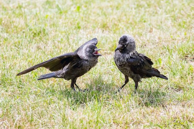 Zwei junge raben in einem park auf dem rasen während eines kampfes