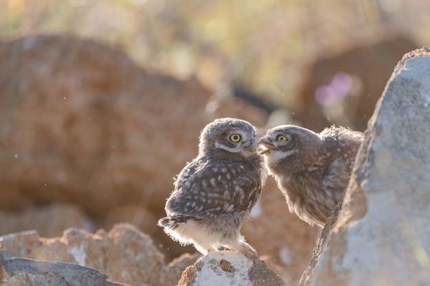 Zwei junge steinkauz athene noctua in freier wildbahn.