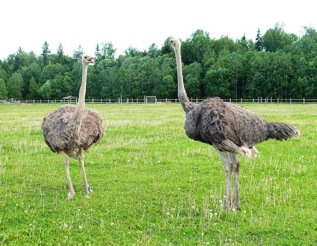 Zwei junge strauße auf grünem gras im sommer