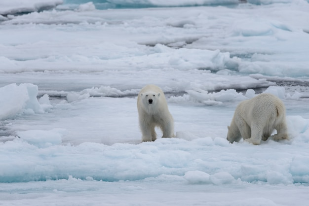Zwei junge wilde eisbären, die auf packeis im arktischen meer spielen