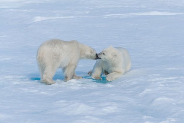 Zwei junge wilde eisbärenjungen, die auf packeis im arktischen meer nördlich von spitzbergen spielen