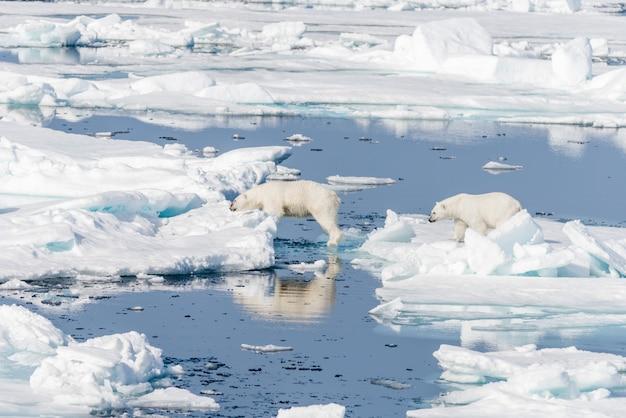 Zwei junge wilde eisbärenjungen, die über eisschollen auf packeis im arktischen meer nördlich von spitzbergen springen