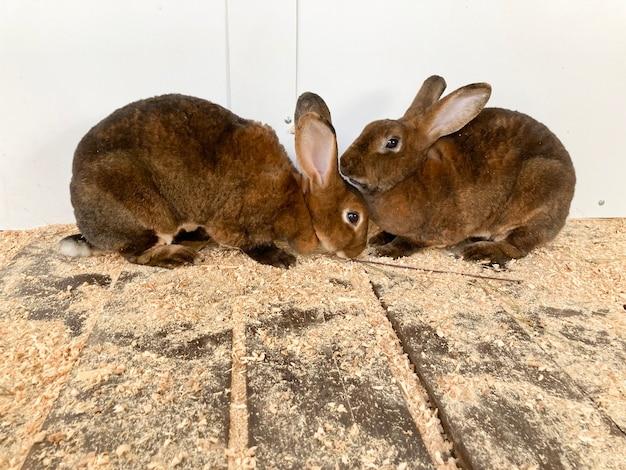 Zwei kaninchen der chinchilla-rex-rasse