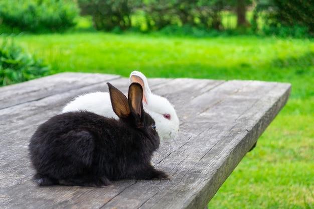 Zwei kaninchen sitzen neben dem blick in die ferne. schwarzweiss-kaninchen auf einem holztisch