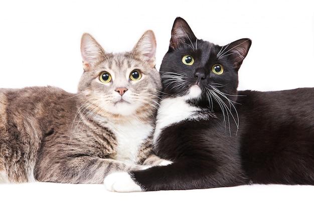 Zwei katzen, die auf weißem hintergrund liegen. haustier und tiere.