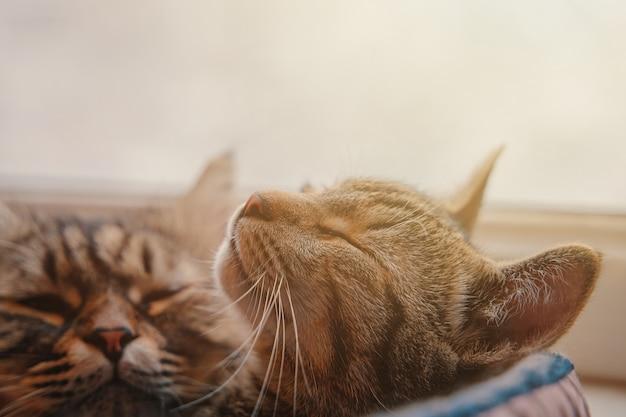 Zwei katzen schlafen im korb auf fensterhintergrund pelzige und gestreifte pussycats haustiere entspannendes bett für kuppel ...