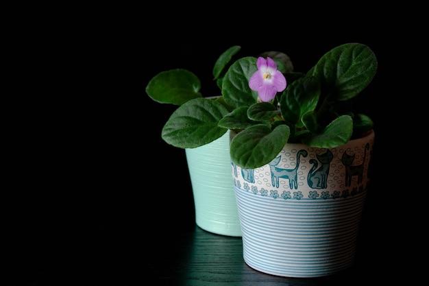 Zwei kleine dekorative topfpflanzen auf dunklem hintergrund, zwei kleine veilchen.