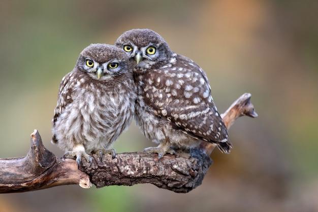 Zwei kleine eulen (athene noctua) sitzen auf einem gegeneinander gepressten stock.