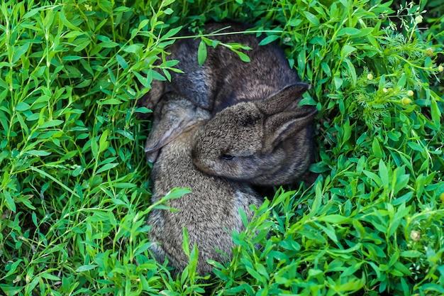 Zwei kleine flauschige häschen im grünen gras. junge kaninchen auf einer wiese