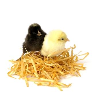 Zwei kleine hühner im nest lokalisiert auf weiß.