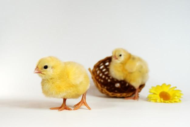 Zwei kleine hühner isoliert auf weiß