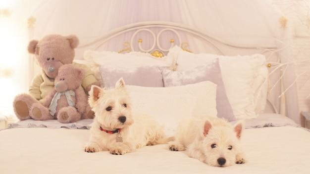 Zwei kleine hunde sitzen auf dem bett im schlafzimmer. zwei entzückende hunde bereit, weihnachten zu feiern