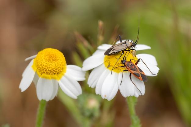 Zwei kleine insekten auf einem wilden gänseblümchen.
