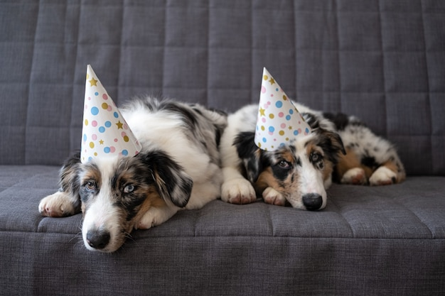 Zwei kleine lustige niedliche australische schäferhund blau merle hündchen tragen partyhut. augen in verschiedenen farben. drei farben. traurig. geburtstag.