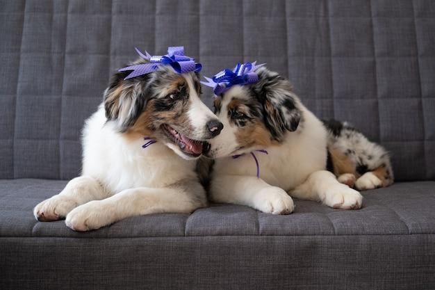 Zwei kleine lustige süße australische schäferhund rot blau merle hündchen band bogen auf kopf.