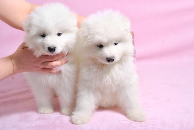 Zwei kleine niedliche samoyed weiße hundewelpen auf rosa