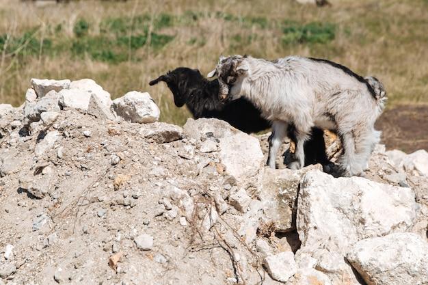 Zwei kleine schwarz-weiße ziegen laufen auf dem stein