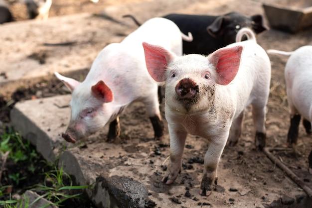 Zwei kleine weiße schweine auf einem hausbauernhof. für jeden zweck.