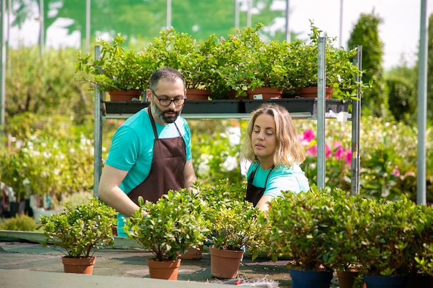 Zwei konzentrierte gärtner bereiten pflanzen in töpfen für den markt vor. mann und frau in blauen hemden und schwarzen schürzen, die heimische pflanzen anbauen und blumen pflegen. gewerbliches garten- und sommerkonzept