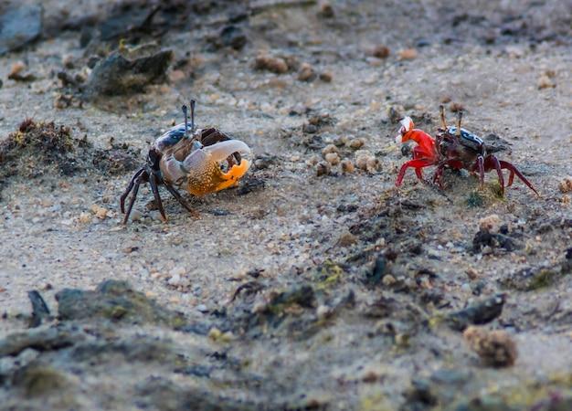 Zwei krabben am strand
