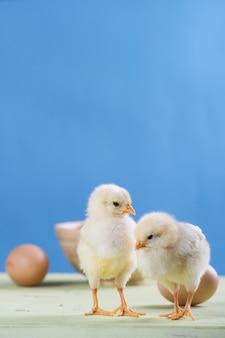 Zwei küken, eier und schüssel