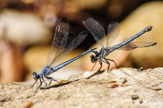 Zwei libellen sitzen auf steinen closeup
