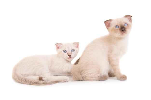 Zwei liegende reinrassige kätzchen isoliert auf weißem hintergrund. studioaufnahme