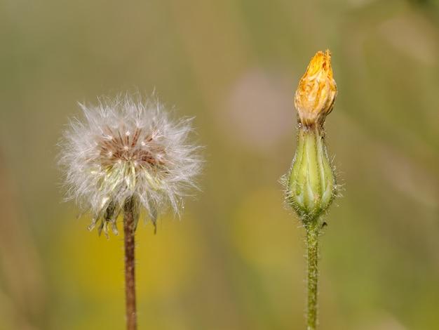 Zwei löwenzahnblumen im frühjahr