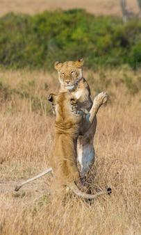 Zwei löwinnen spielen miteinander. nationalpark. kenia. tansania. masai mara. serengeti.