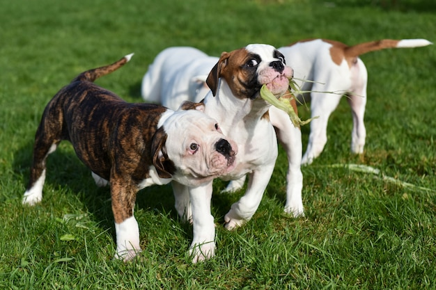 Zwei lustige amerikanische bulldoggenwelpenhunde essen mais