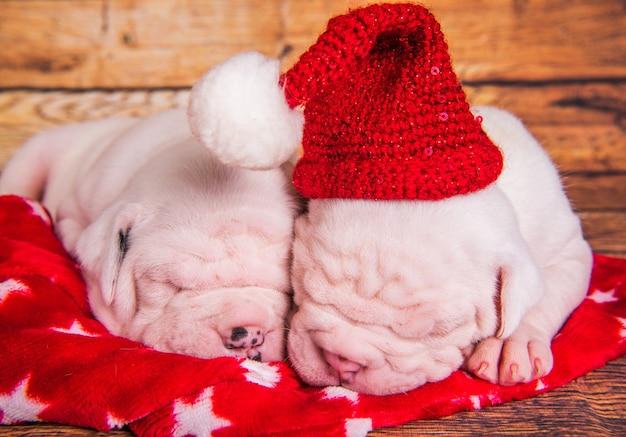 Zwei lustige amerikanische bulldoggenwelpenhunde mit weihnachtsmannhut schlafen. weihnachten oder neujahr hintergrund