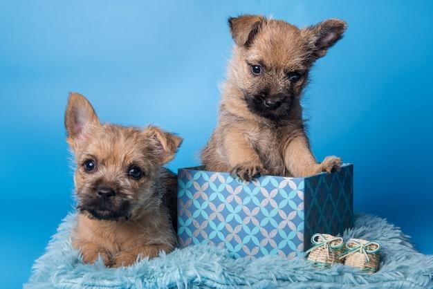 Zwei lustige cairn terrier welpen hunde mit wheaten fell sitzen in geschenkbox isoliert auf blauem hintergrund
