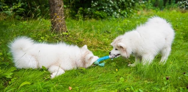 Zwei lustige flauschige weiße samojedenwelpenhunde spielen mit spielzeug auf dem grünen gras