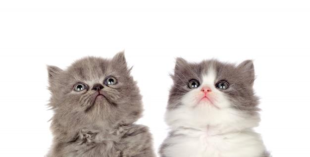 Zwei lustige graue katzen schauen oben auf einem weißen hintergrund lokalisiert