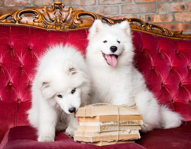 Zwei lustige weiße flauschige samojedenwelpenhunde mit büchern