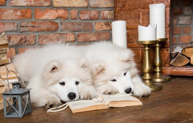 Zwei lustige weiße flauschige samoyed welpenhunde mit buch