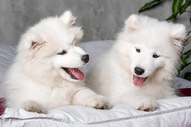 Zwei lustige weiße flauschige welpen der samoyed hunde im roten bett auf schlafzimmer