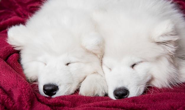Zwei lustige weiße flauschige welpen der samoyed hunde schlafen im roten bett auf schlafzimmer