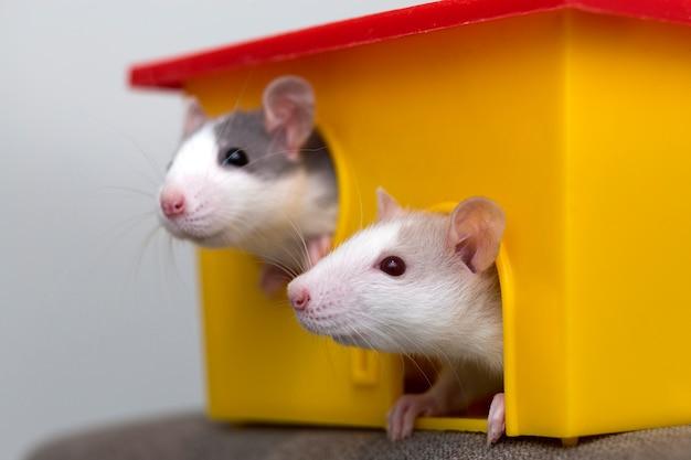 Zwei lustige weiße und graue zahme neugierige maushamster mit glänzenden augen, die vom leuchtend gelben käfigfenster schauen. halten sie haustierfreunde zu hause, kümmern sie sich und lieben sie tierkonzept.