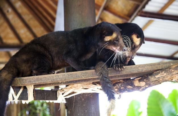 Zwei luwak-tiere sind auf dem holzast im haus im dschungel indonesiens.
