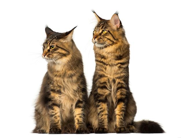 Zwei maine coons sitzen und schauen weg