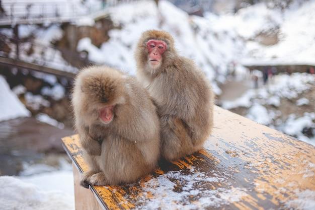 Zwei makakenaffen sitzen nahe beieinander