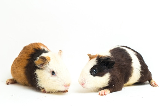 Zwei meerschweinchen auf einem hellen hintergrund